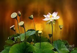 Lotus Flower Bloom - blooming white lotus flower photograph by gabriele pomykaj
