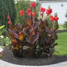 canna lilies deta 1765 jpg
