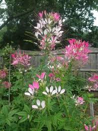 Cleome Flower - cleome mix spider plant supposed to be self seeding and invasive