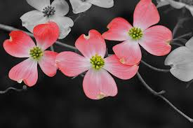 dogwood flowers dogwood flowers my try at selective color mike hoff flickr
