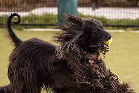 afghan hound weight breed of the month afghan hound care com community