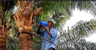 igbo culture traditions history palm wine and its importance
