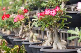 Patio Tree Rose by Desert Rose How To Grow And Care For The Adenium Obesum