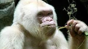 merak albino ga nyangka ada 10 hewan albino terlangka di dunia youtube