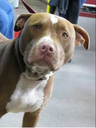 american pitbull terrier ireland facts about blue nose and red nose pit bulls pethelpful