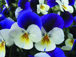 edible blue flowers edible viola coconut duet edible flowers edible