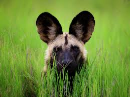 wild dog botswana