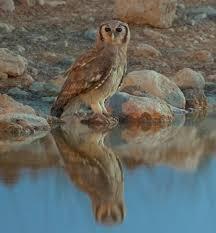 verreaux u0027s eagle owl wikipedia