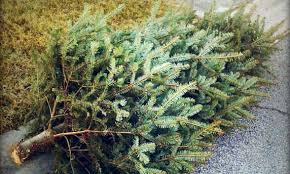 real christmas trees place real christmas trees curbside or drop them city of