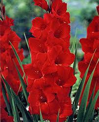gladiolus flower gladiolus bulb 20 pack sensation stunning