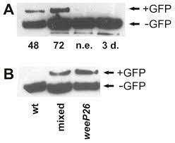 myosin isoform switching during assembly of the drosophila flight
