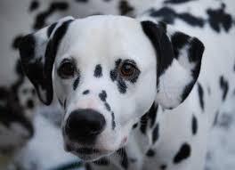 raw feeding dalmatians dog u0027s dinner ann ridyard