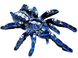 42 best tarantulas images on spiders pet tarantula