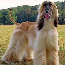 afghan hound puppies youtube dog puzzle afghan hound android apps on google play