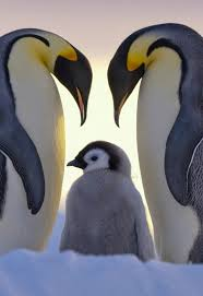 109 best penguins images on pinterest animals nature and king
