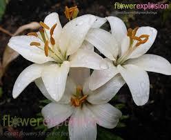 asiatic lilies white asiatic bulk lilies white