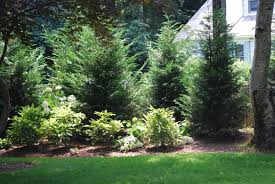royal lawn landscaping leyland cypress used as a privacy fence