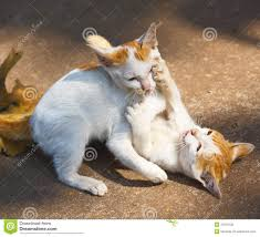 cat twin royalty free stock images image 23679739