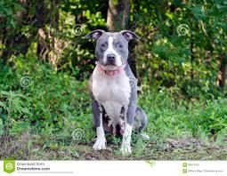american pitbull terrier blue blue american pitbull terrier dog stock photo image 96412754