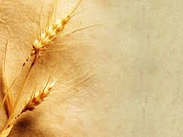 grain wallpaper free wheat wallpapers images collection of free wheat nts66