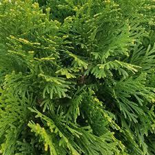 2 5 qt emerald green arborvitae thuja live evergreen shrub