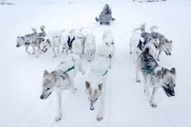 finding freedom in the dying art of dog sledding visit greenland