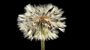 dandelion flower and clock blowing away time lapse youtube