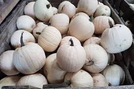 white pumpkins here s where you can buy white pumpkins in west lancashire