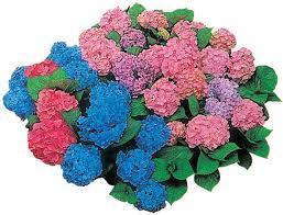 potare le ortensie in vaso ortensia coltivazione potatura e cure fai da te in giardino