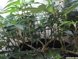 fanleaf u0027s new room u0026 a 6 plant 4 strain auto grow u0026 perpetual