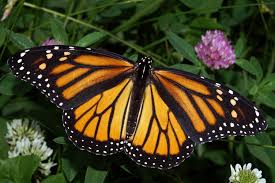 monarch in may jpg