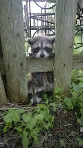 124 best raccoons images on pinterest raccoons racoon and a photo