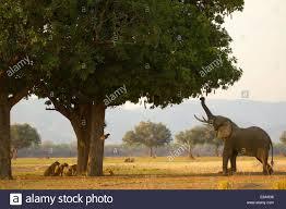 african sausage tree stock photos african sausage tree stock bull african elephant loxodonta africana eating sausage tree leaves pride of lions behind tree mana pools