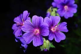 free photo blossom composites bloom zinnia flower garden max pixel