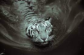 tiger black and white free photo on pixabay