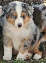 australian shepherd in spanish 17 best images about chien on pinterest
