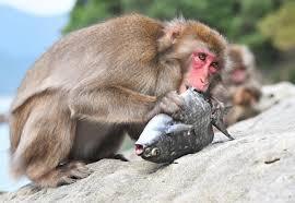 the year of miyazaki island u0027s fish eating monkeys the japan times
