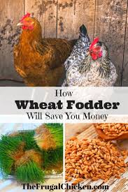 what to feed backyard chickens 3364 best images about chickens everything you need to know