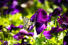 closeup of a beautiful butterfly on a purple flower stock photo