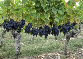 native plants in france learn the difference argentinian malbec vs french malbec wine