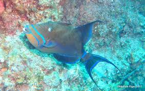 queen triggerfish bahamas rolling harbour abaco