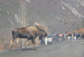 people don u0027t realize just how huge moose can get they are the