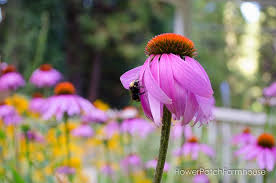 echinacea flower how to grow echinacea flower patch farmhouse