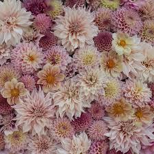 farm fresh flowers 25 best dahlias images on cut flowers flower farm and