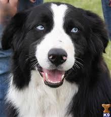 skiing with australian shepherd black tri with blue eyes awesome blue eyed pups pinterest