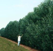 willow hybrid the fastest growing privacy hedge trees you can