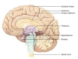 Thalamus Part Of The Brain Which Parts Of The Brain Control Which Human Behaviours Quora