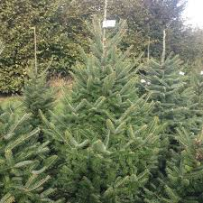 real christmas trees for sale canaan fir christmas trees for sale sendmeachristmastree