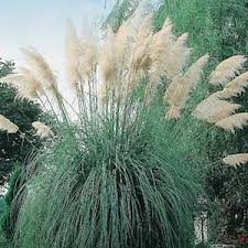 white feather pampas grass seeds cortaderia selloana an incredibly