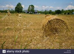 hay rolled rolls farm food field grass house trees in ontario